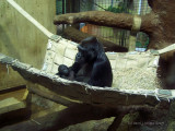 New Baby Gorilla at Baltimore Zoo.