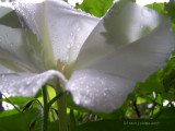 Moon Flower! ~ Refreshed!