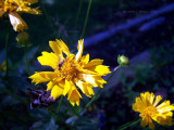 Tickseed \ Coreopsis