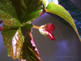 Angel Wing Begonia Blooms