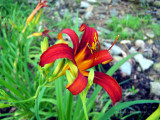 Red\Yellow Day Lily