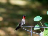 One Ruby-Throated Hummingbird.