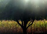 Apple Tree at Sunset