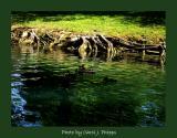 Deep roots Wide River Ducks swim on.