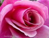 September Rose.JPG
