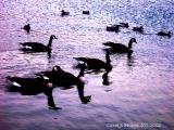 Geese on Indiana Lake.JPG