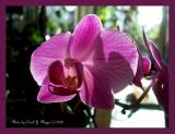 013 Orchid Gallery Phal Brother Girl Pink.JPG
