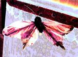 Moth on Window Shade.JPG