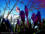 Hope Springs Purple