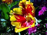 Seven-Inch Tulip.JPG