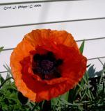 Orange Poppy.JPG