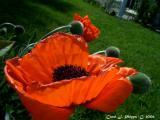 Oriental Prince of Orange Poppy.
