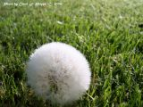Dandelion, Wanna-be golf ball.JPG