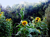 Sunflower Garden.JPG