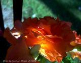 Sunny Flower at Dusk.