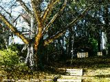 Remembering the Gingko Tree.