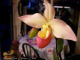 Amelias Orchids.JPG