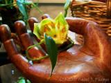 Tulip in Hand.