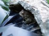 Pond Frog.