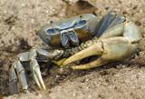 Great Land Crab  Cardisoma guanhumi