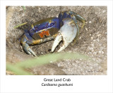 Great Land Crab  Cardisoma guanhumi