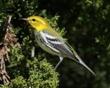 Balck-throated Green Warbler