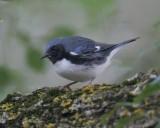 Black-thoated Blue Warbler