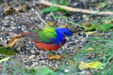 Painted Bunting (male) 1
