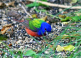 Painted Bunting (male) 2