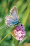 Common Blue and the beetle/ Alm. Blåfugl og billen