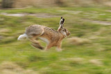 Hare on the run / Hare på flugt