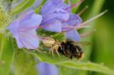 Spider with a bumblebee / Edderkop med en humlebi