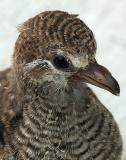 Indian Cuckoo 100% Crop