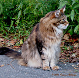 Maine Coon Cat Profile