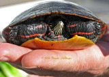 Shy Painted Turtle