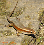 Skink in Bayon