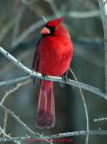 Northen Male Cardinal