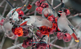 Four Bohemian Waxwings Eating Apples