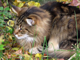 Maine Coon Cat Augie