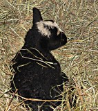 Newborn Lamb at Windy Hill Farm