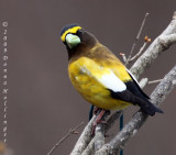 Evening Grosbeak Male, crown feathers raised