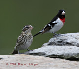 Rose Breasted Grosbeak Pair