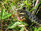 Garter snake eating a pickerel frog