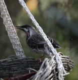 Wattle Bird