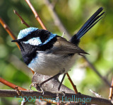 Superb Blue Faerie Wren