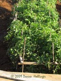 Iskandar's tomatoes