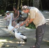 Nice Pelican