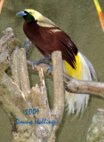 Male Bird of Paradise