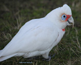Cacatus tenuirostris:  Long Billed Corella