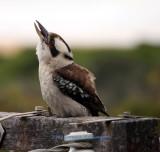 Kookaburra calling wildly